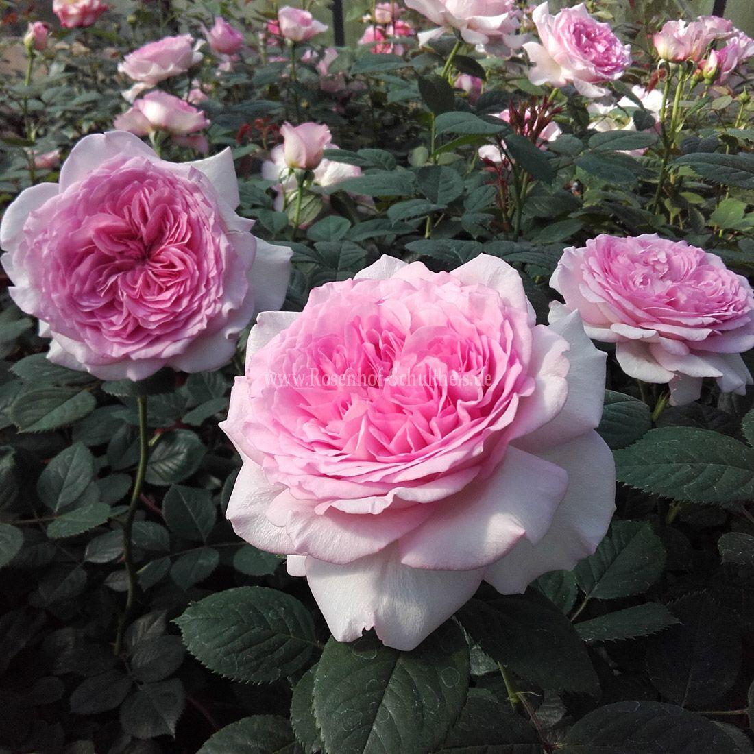 manuela schultheis rosen online kaufen im rosenhof schultheis rosen online kaufen im. Black Bedroom Furniture Sets. Home Design Ideas