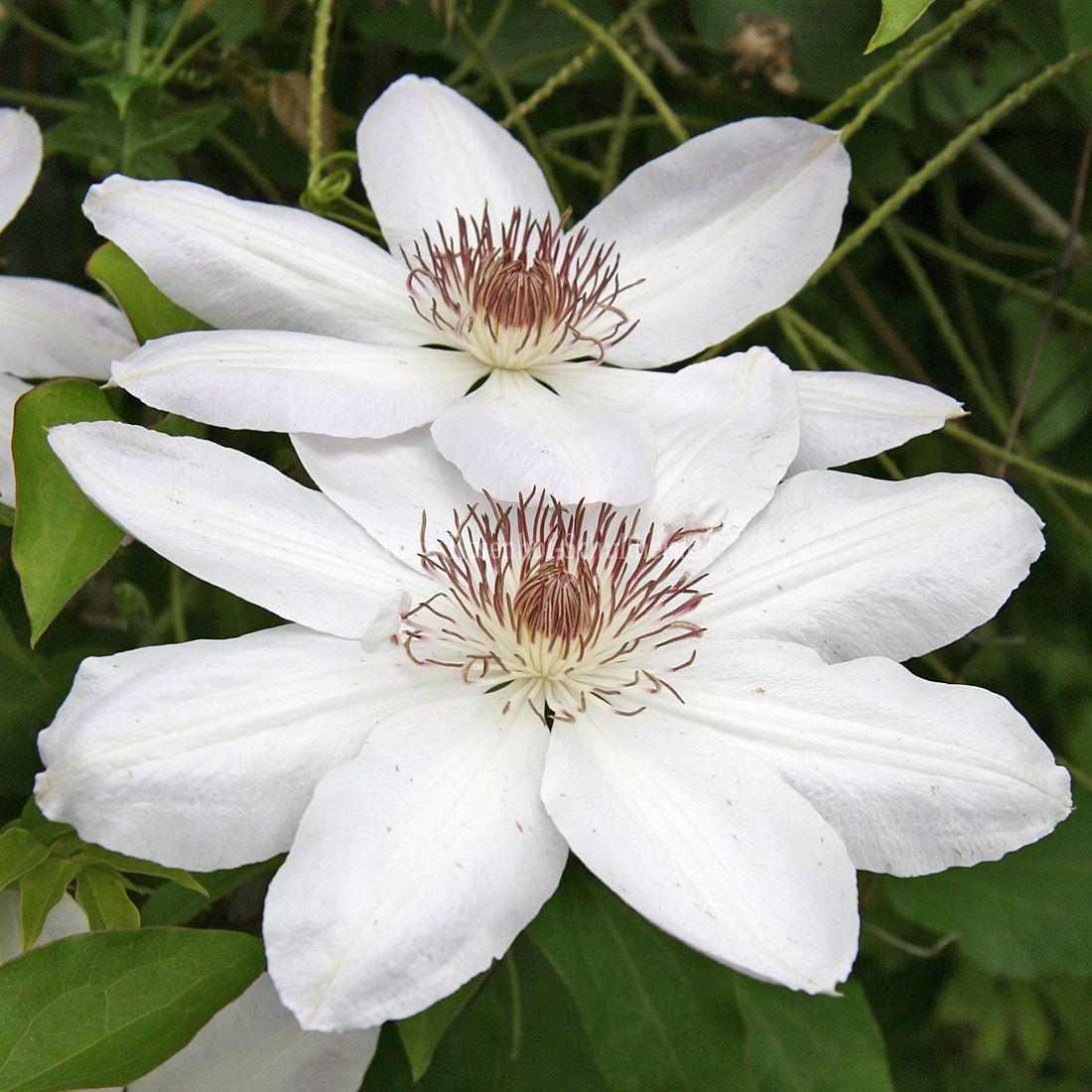 henryi rosen online kaufen im rosenhof schultheis rosen online kaufen im rosenhof schultheis. Black Bedroom Furniture Sets. Home Design Ideas