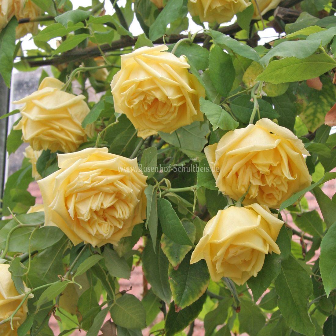 mar chal niel rosen online kaufen im rosenhof schultheis rosen online kaufen im rosenhof. Black Bedroom Furniture Sets. Home Design Ideas