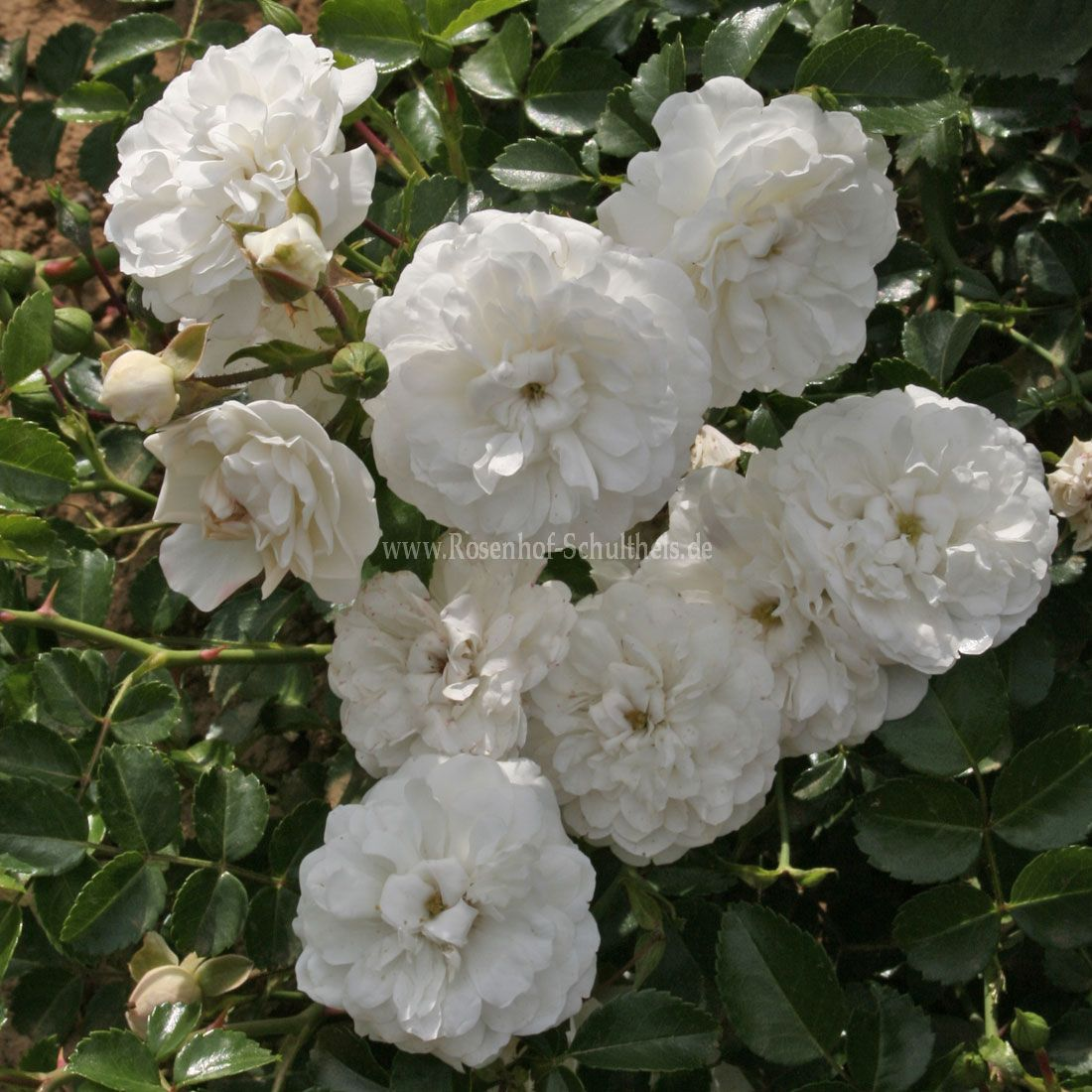 sternschnuppe rosen online kaufen im rosenhof schultheis rosen online kaufen im rosenhof. Black Bedroom Furniture Sets. Home Design Ideas