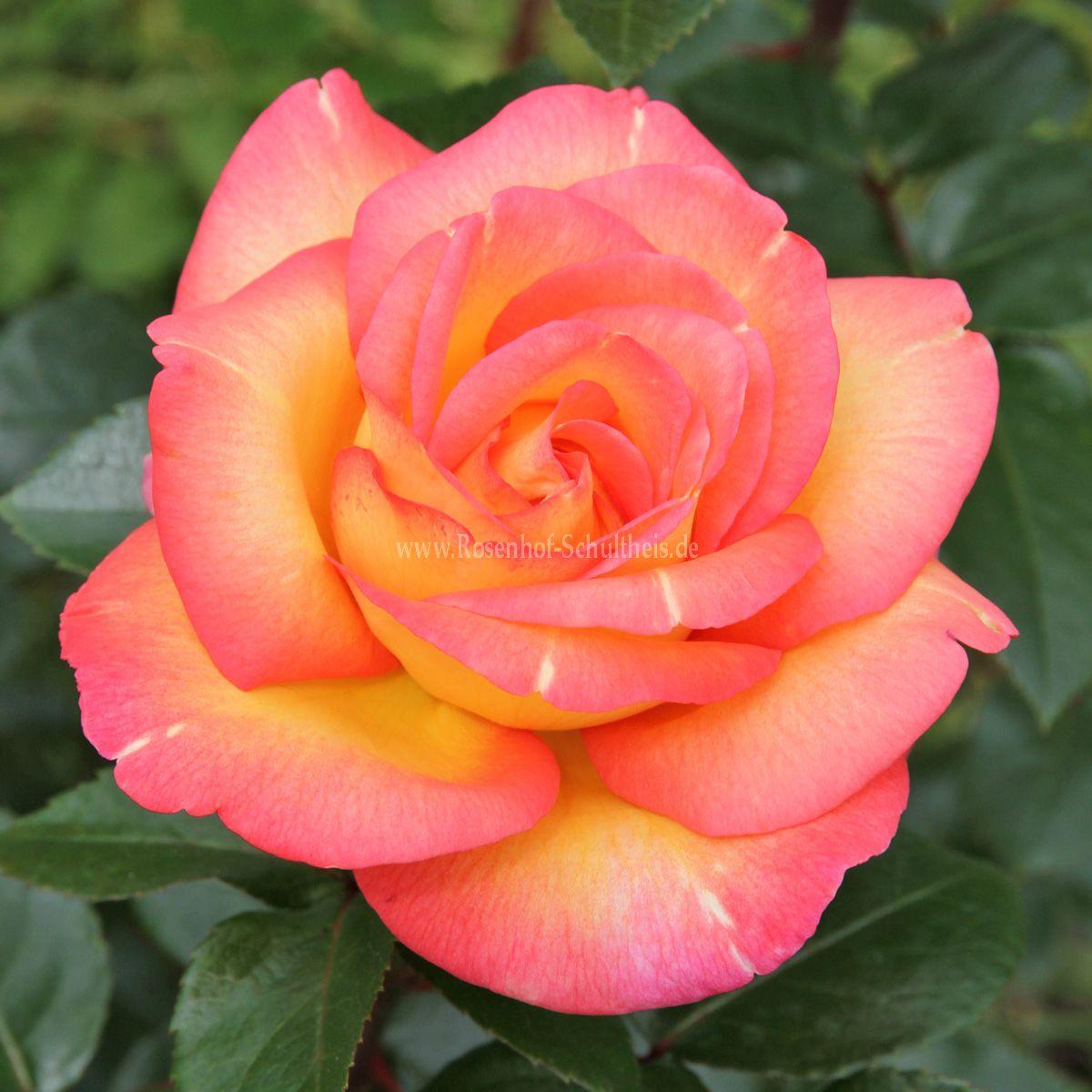 roberto alagna rosen online kaufen im rosenhof schultheis rosen online kaufen im rosenhof. Black Bedroom Furniture Sets. Home Design Ideas