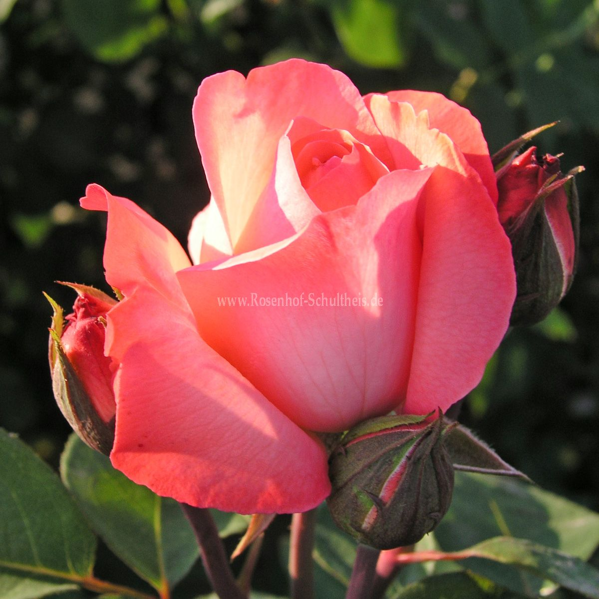 aachener dom rosen online kaufen im rosenhof schultheis rosen online kaufen im rosenhof. Black Bedroom Furniture Sets. Home Design Ideas