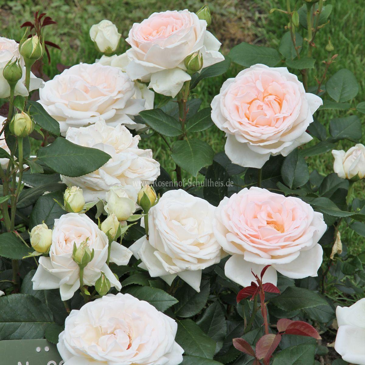 gruaud larose rosen online kaufen im rosenhof schultheis rosen online kaufen im rosenhof. Black Bedroom Furniture Sets. Home Design Ideas