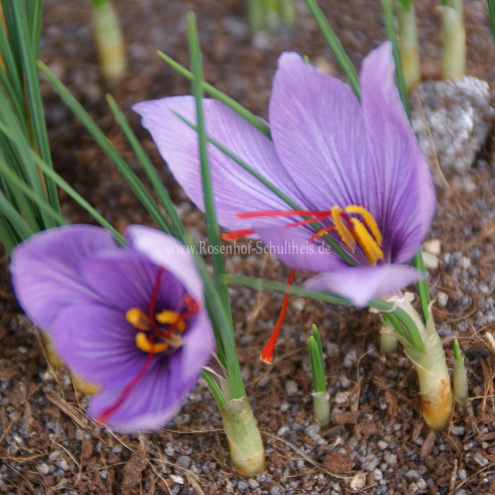 crocus sativus rosen online kaufen im rosenhof schultheis rosen online kaufen im rosenhof. Black Bedroom Furniture Sets. Home Design Ideas