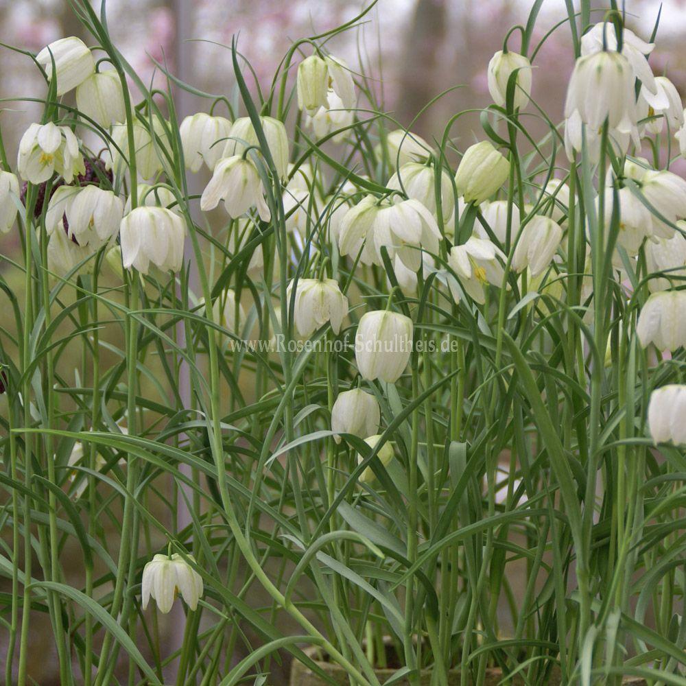 Fritillaria meleagris 'Alba'   Rosen online kaufen im Rosenhof ...