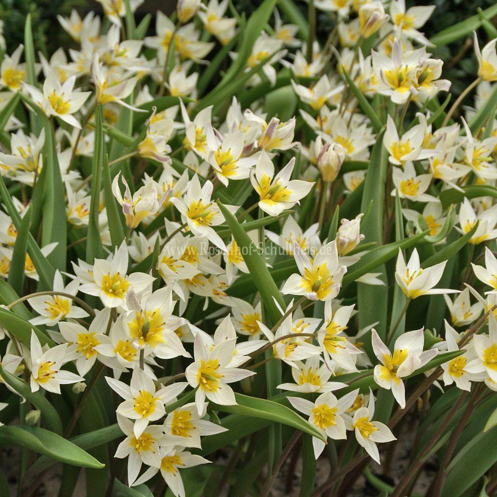 tulipa turkestanica rosen online kaufen im rosenhof schultheis rosen online kaufen im. Black Bedroom Furniture Sets. Home Design Ideas