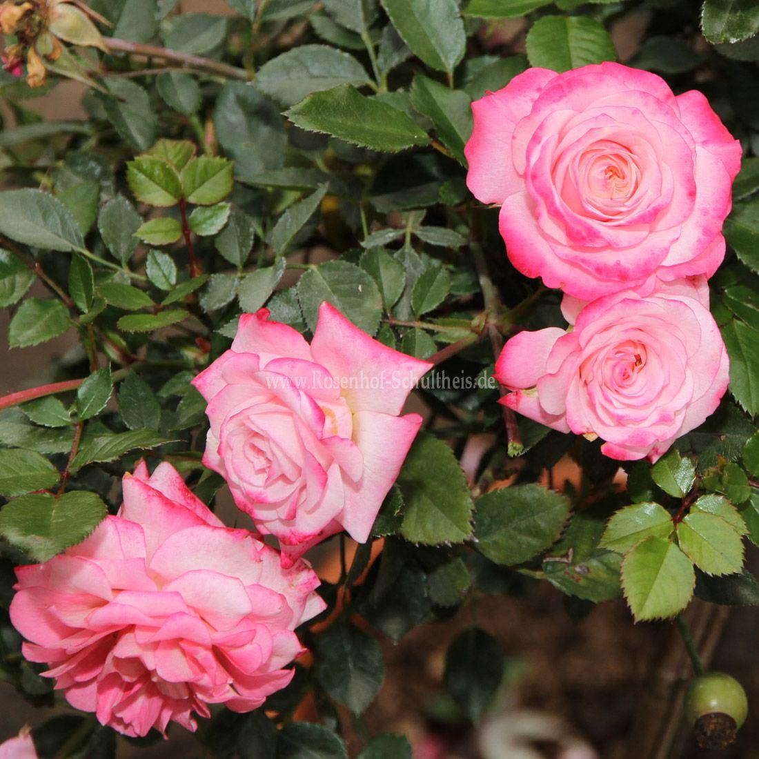 portofino rosen online kaufen im rosenhof schultheis. Black Bedroom Furniture Sets. Home Design Ideas
