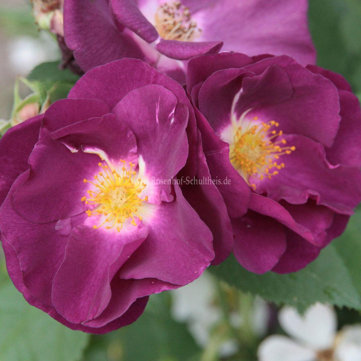 rhapsody in blue rosen online kaufen im rosenhof. Black Bedroom Furniture Sets. Home Design Ideas