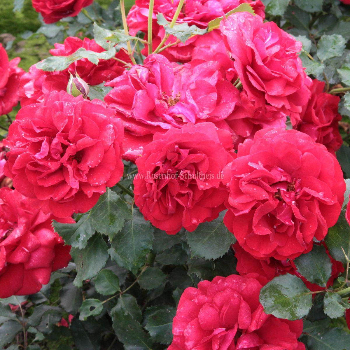 g rtnerfreude rosen online kaufen im rosenhof schultheis. Black Bedroom Furniture Sets. Home Design Ideas
