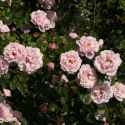 Gerbe Rose