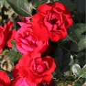 Black Forest Rose