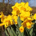 Narcissus 'Arctic Gold'