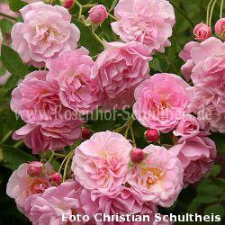 rosendorf steinfurth 39 04 rosen online kaufen im rosenhof schultheis rosen online kaufen im. Black Bedroom Furniture Sets. Home Design Ideas