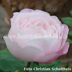 mme pierre oger 5 zartrosa rosa borbonica. Black Bedroom Furniture Sets. Home Design Ideas