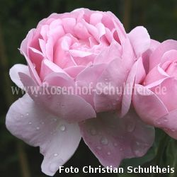 ausfirst rosa moderne romantikrosen moderne rosen. Black Bedroom Furniture Sets. Home Design Ideas
