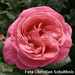 kore rosa moderne strauchrosen moderne rosen. Black Bedroom Furniture Sets. Home Design Ideas