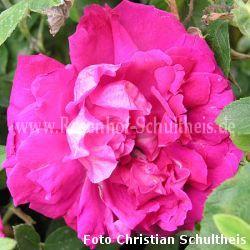 parfum de l 39 hay rosen online kaufen im rosenhof schultheis rosen online kaufen im rosenhof. Black Bedroom Furniture Sets. Home Design Ideas