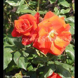 bischofstadt paderborn 2 suche rosen von schultheis. Black Bedroom Furniture Sets. Home Design Ideas