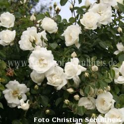 purity 2 weiss rambler kletterrosen rosen rosen. Black Bedroom Furniture Sets. Home Design Ideas