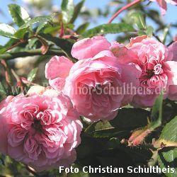 petit bonheur 2 zartrosa bodendecker moderne rosen rosen rosen von schultheis. Black Bedroom Furniture Sets. Home Design Ideas