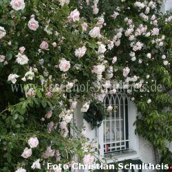 new dawn 2 zartrosa rosen fuer rosenbogen. Black Bedroom Furniture Sets. Home Design Ideas