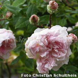 edmond proust 4 rosa rambler kletterrosen rosen. Black Bedroom Furniture Sets. Home Design Ideas