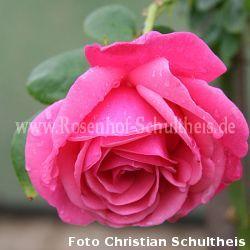 pink perp tue 2 rosen von schultheis. Black Bedroom Furniture Sets. Home Design Ideas