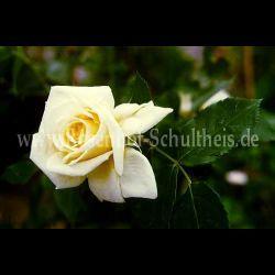 elegance gelb kletterrosen kletterrosen rosen. Black Bedroom Furniture Sets. Home Design Ideas
