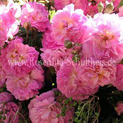 souvenir de greuville 2 rosa bodendecker moderne rosen rosen rosen von schultheis. Black Bedroom Furniture Sets. Home Design Ideas