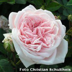 katharina von bora rosen online kaufen im rosenhof schultheis rosen online kaufen im. Black Bedroom Furniture Sets. Home Design Ideas
