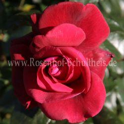 red flame 3 rosen von schultheis. Black Bedroom Furniture Sets. Home Design Ideas