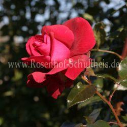 red flame 4 rosen von schultheis. Black Bedroom Furniture Sets. Home Design Ideas