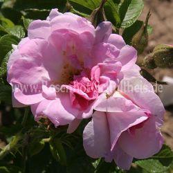 liga zartrosa rosa rugosa moderne rosen rosen. Black Bedroom Furniture Sets. Home Design Ideas