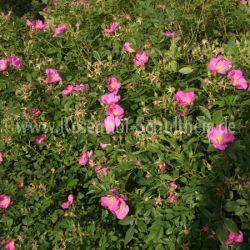 rosa virginiana 3 wildrosen wurzelechte rosen rosen. Black Bedroom Furniture Sets. Home Design Ideas