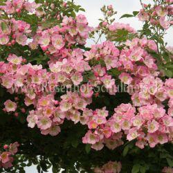 kew rambler 3 rosa rambler kletterrosen rosen. Black Bedroom Furniture Sets. Home Design Ideas