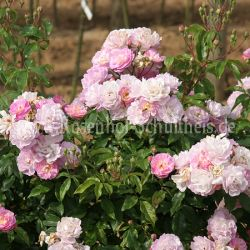souvenir de greuville 4 rosa bodendecker moderne rosen rosen rosen von schultheis. Black Bedroom Furniture Sets. Home Design Ideas