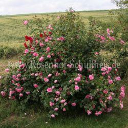 centenaire de lourdes 5 rosen von schultheis. Black Bedroom Furniture Sets. Home Design Ideas