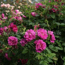 moje hammarberg 4 purpur violett bodendecker moderne rosen rosen rosen von schultheis. Black Bedroom Furniture Sets. Home Design Ideas