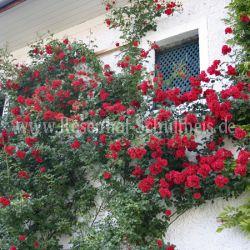 strombergzauber 3 rot rambler kletterrosen rosen. Black Bedroom Furniture Sets. Home Design Ideas