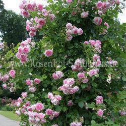 jasmina 5 rosa rosen fuer rosenbogen kletterrosen. Black Bedroom Furniture Sets. Home Design Ideas