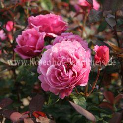 elbflorenz 3 kraeftigrosa teehybriden moderne rosen. Black Bedroom Furniture Sets. Home Design Ideas