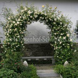 christine h l ne 6 gelb rosen fuer rosenbogen kletterrosen rosen rosen von schultheis. Black Bedroom Furniture Sets. Home Design Ideas