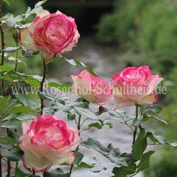 jubile du prince de monaco 4 mehrfarbig polyantharosen moderne rosen rosen rosen von. Black Bedroom Furniture Sets. Home Design Ideas