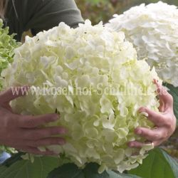 Hydrangea 'Strong Annabelle' syn. 'Incrediball'