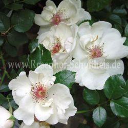 jacqueline du pr 2 weiss moderne strauchrosen moderne rosen rosen rosen von schultheis. Black Bedroom Furniture Sets. Home Design Ideas