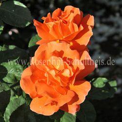 orange dawn 2 apricot orange moderne kletterrosen kletterrosen rosen rosen von schultheis. Black Bedroom Furniture Sets. Home Design Ideas