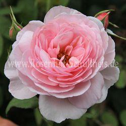 gr fin gutta rosa polyantharosen moderne rosen. Black Bedroom Furniture Sets. Home Design Ideas