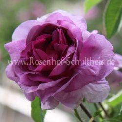 Lila rosensorten