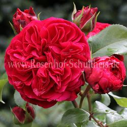 red leonardo da vinci rosen online kaufen im rosenhof. Black Bedroom Furniture Sets. Home Design Ideas
