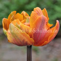 Tulipa 'Orange Princess'